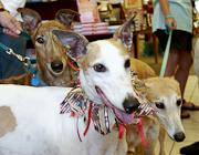 Greyhound Fostering